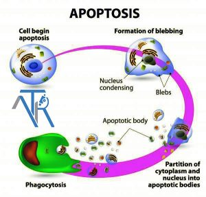 بررسی آپوپتوز با استفاده از کیت Annexin