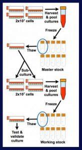 سلولهای کشت دادهشده