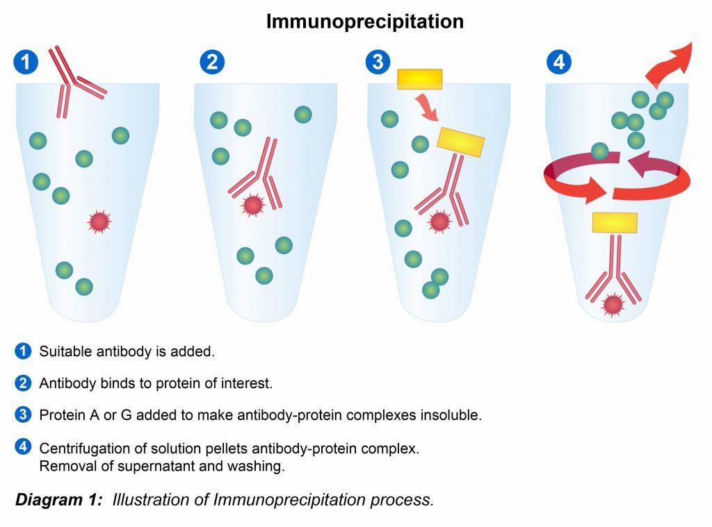 Immunoprecipitation- آنتی بادی
