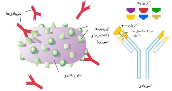 تفاوت آنتی ژن و آنتی بادی